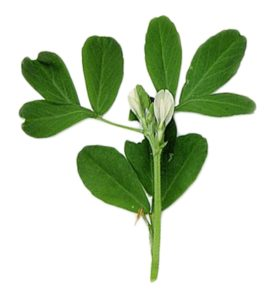 Fenugreek (Fenegriek)